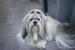 Shih tzu dog Royalty Free Stock Photo
