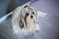 Shih tzu dog. Lying in home interior royalty free stock photo