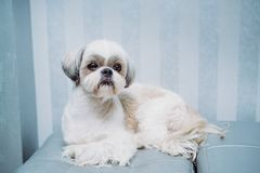 Shih tzu dog. Lying at home sofa and waiting for owner royalty free stock images