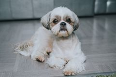 Shih tzu dog. Lying at home and waiting for owner stock image