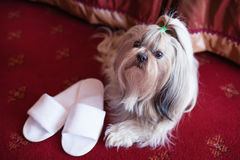 Shih tzu dog. Lying on red carpet with owner slippers in luxury interior stock image
