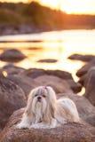 Shih-tzu dog. Lying on stone lake coast at sunset light royalty free stock image