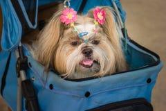 Shih tzu dog lying in stroller Stock Images
