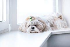 Shih tzu dog. Lying by windows royalty free stock photo