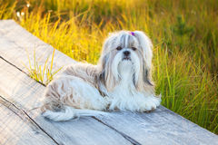 Shih-tzu dog. Lying on wooden path at countryside stock photo