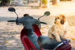 Shih Tzu dog on motorcycle is looking for owner with blurred bac. Kground in dog`s portrait stock photos