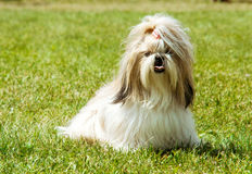 Shih Tzu Dog outdoor portrait royalty free stock photography