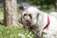 Shih tzu dog in the park royalty free stock photo