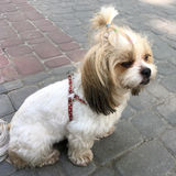 Shih tzu dog. On the pavement chinese lion dog stock image