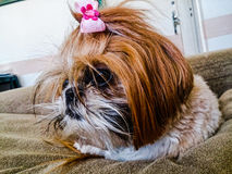 Shih Tzu dog. Picture of a Shih Tzu dog Stock Images