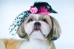 Shih tzu dog. In pink hat on white background royalty free stock images