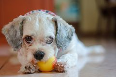 Shih tzu dog playing a ball for pet concept. Cutely white short hair Shih tzu dog playing a ball for pet concept royalty free stock images