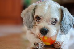 Shih tzu dog playing a ball for pet concept. Cutely white short hair Shih tzu dog playing a ball for pet concept royalty free stock image