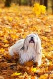 Shih tzu dog. Playing outdoors Royalty Free Stock Photos