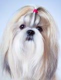 Shih tzu dog portrait Stock Photography