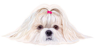 Shih tzu dog. Portrait in bright white colors royalty free illustration