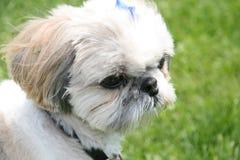 Shih Tzu dog portrait. On grass royalty free stock image