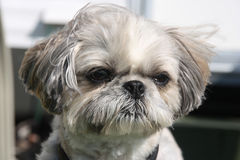 Shih tzu. Dog portrait outdoor royalty free stock image