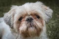 Shih tzu dog portrait. Portrait of shih-tzu dog, Pet and domestic animal concept stock photos