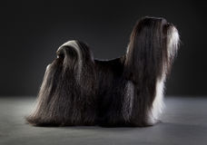 Shih tzu dog. Portrait in studio Stock Photography