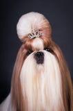Shih tzu dog portrait at studio Royalty Free Stock Photo