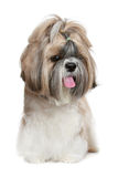 Shih tzu dog portrait on white Royalty Free Stock Photography