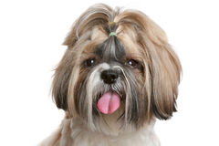 Shih tzu dog portrait on white Stock Photography