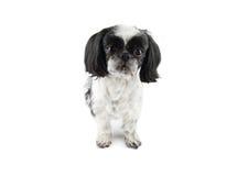 Shih-tzu dog. Portrait of Shih-tzu dog on white background stock images