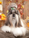 Shih tzu dog. Shih tzu and pumpkins on an autumn background royalty free stock images