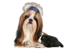 Shih tzu dog and rabbit on a white background Royalty Free Stock Images