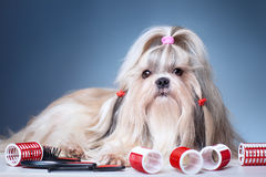 Shih tzu dog. With red curlers grooming on blue background royalty free stock photography