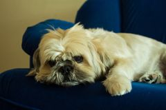 Shih Tzu Dog Relaxing op de Bank stock foto's