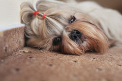 Shih tzu dog resting. On carpet indoors royalty free stock photography