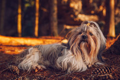Shih tzu dog resting. After travel in forest. Red sunset light stock image