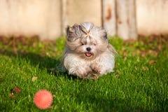 Shih tzu dog running stock images