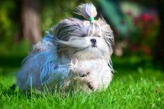 Shih tzu dog stock photography