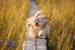 Shih-tzu dog. Running on wooden path at swamp with high grass. Yellow sunset light stock photography