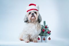Shih tzu dog. In santa hat with small new year tree on white and blue background Royalty Free Stock Photos