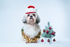 Shih tzu dog. In santa hat with small new year tree on white and blue background Stock Images
