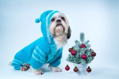 Shih tzu dog. In blue sweater with small new year tree on white and blue background stock photos