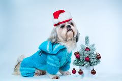 Shih tzu dog. In santa hat and blue  sweater with small new year tree on white and blue background Royalty Free Stock Image