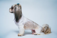 Shih tzu dog stock photography