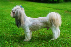 Shih tzu dog. With short haircut standing on green lawn background royalty free stock images