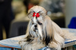 Shih Tzu dog. At the Dog Show. Shih Tzu dog royalty free stock image