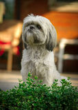 Shih Tzu Dog Sitting at Attention. A small, white Shih-Tzu dog sits with focused attention behind the leaves of a green bush stock photos