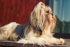 Shih tzu dog. Sitting at front of house stock photos