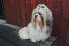 Shih tzu dog. Sitting and guarding house royalty free stock images