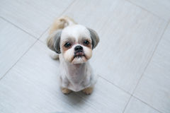 Shih tzu dog. Sitting at kitchen and asking owner something to eat royalty free stock photography
