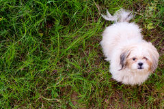 Shih tzu dog. Is sitting in the lawn Royalty Free Stock Image