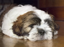 Shih Tzu Dog sleeping on the floor. Shih Tzu Dog sleeping on the flor stock images